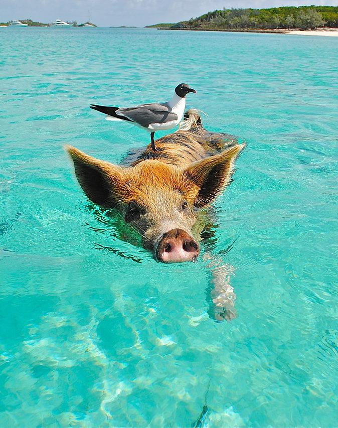 Swimming Pigs