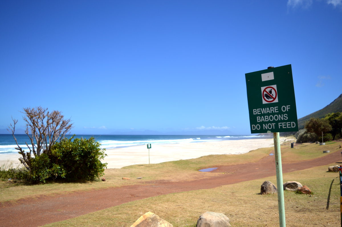 Baboons on the Beach - Beware!!!