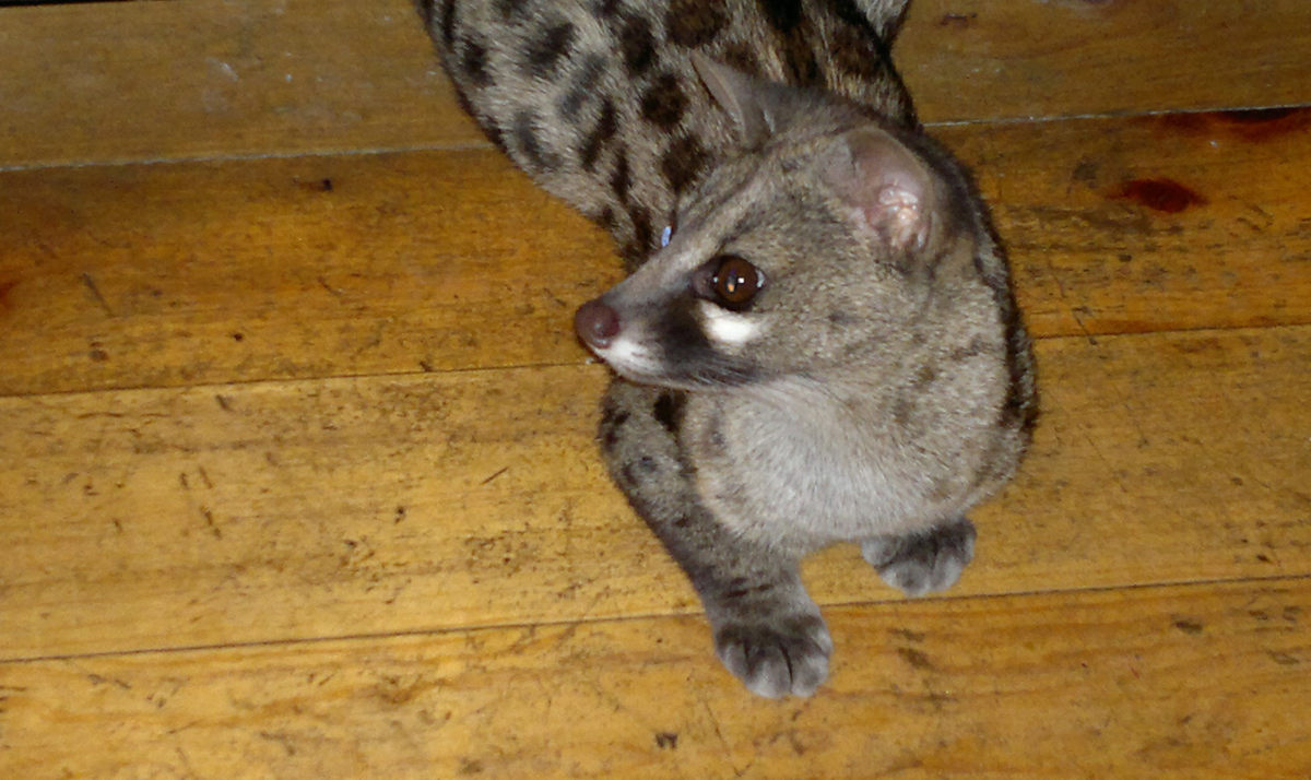Civet at The Girls