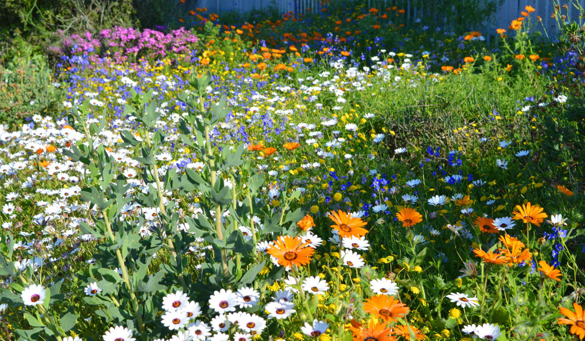 Wild Flowersin Langebaan near Paradise Beach