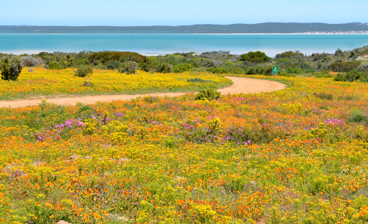 Flowers in the West Coast National Park