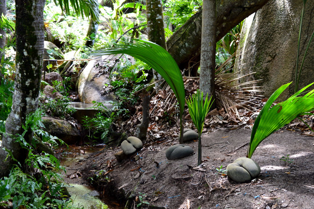 Coco de Mer growing on Praslin