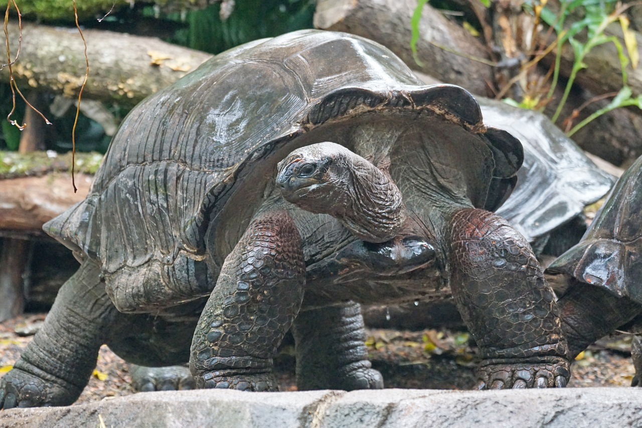 Really old and big tortoise