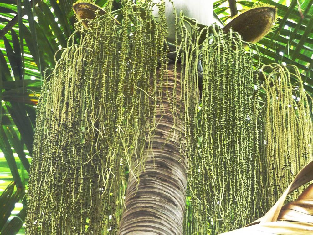 Rasta Palm