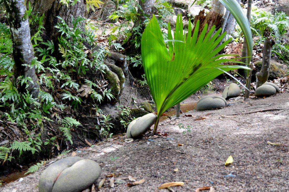 Coco De Mer Coconuts