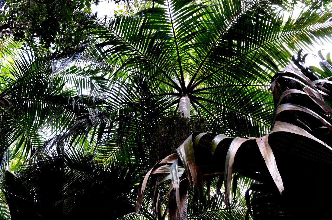 Coco de mer trees