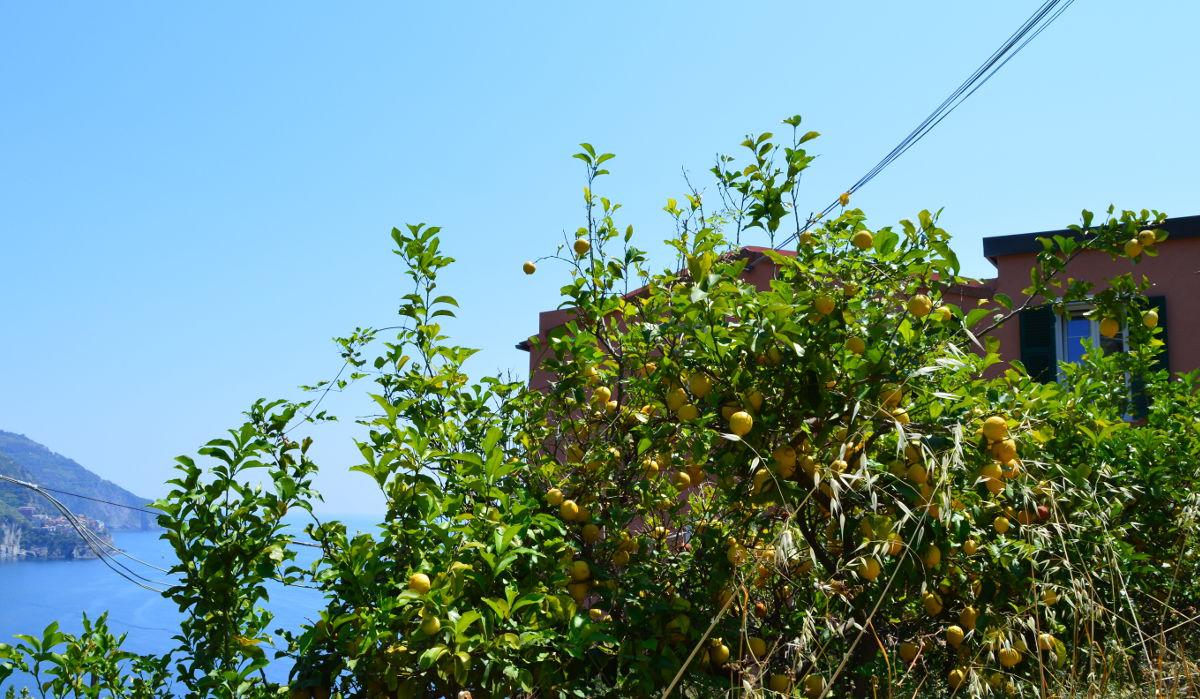 Lemon Trees in Corniglia